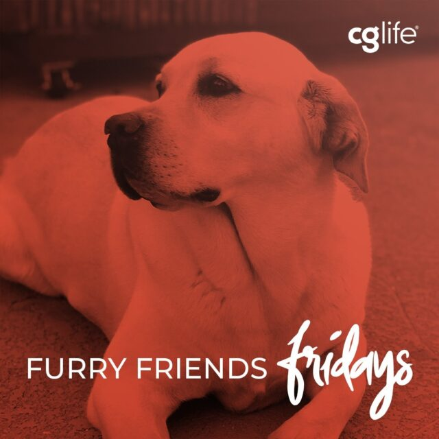 Lucky is the star of CG Life's San Diego office! She frequently accompanies her dad @clausen.ea, our Managing Partner, to work (when we can be in office 😓). We miss seeing you around, model pooch!  #FFF #FurryFriendsFridays #CGLife #DogsOfInstagram #FurryFriend